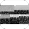 SEM images of arrays of ZnO nanowires in varied lengths. Scale bar, 10 um. Wire length (a) 11 um, (b) 17 um, (c) 22 um, (d) 27 um, (e) 33 um